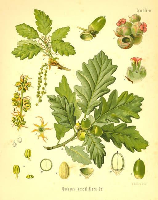 Dub zimní (Quercus sessiliflora)
