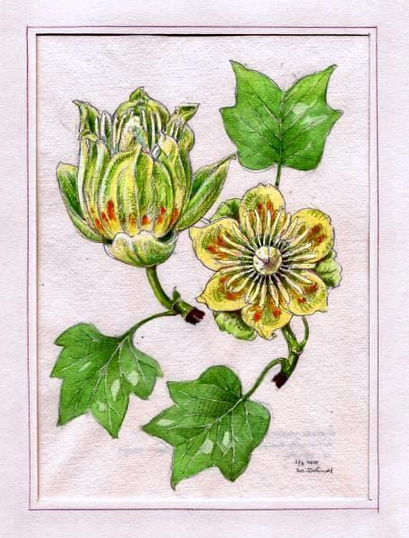 Kolorovaná kresba z atlasu (Vlastivědné muzeum v Olomouci)